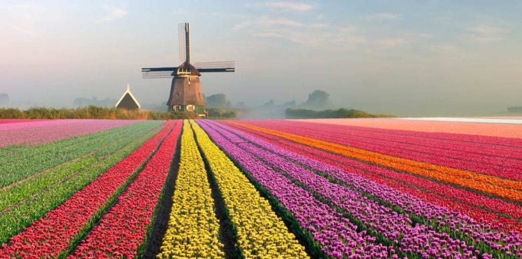 DUTCH TULIP MANIA